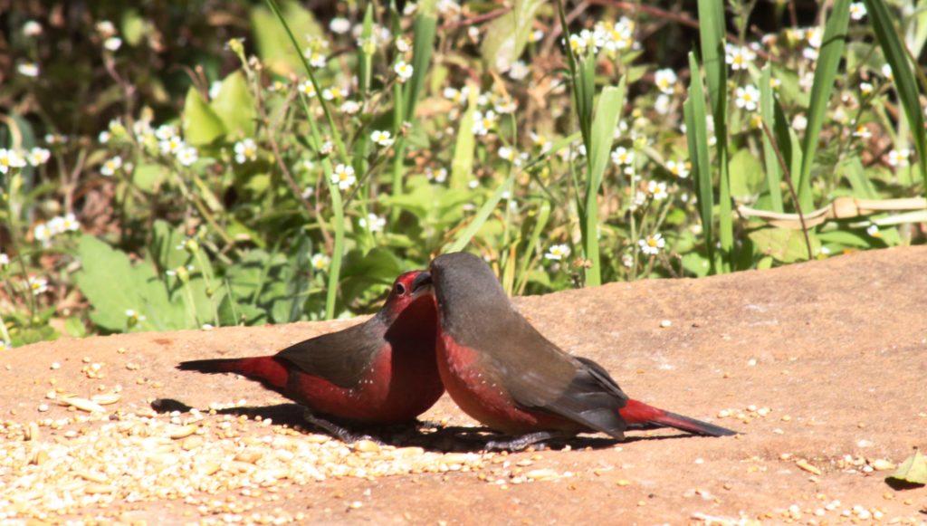 Birding in Magoebaskloof - African Firefinch Trogon feeder